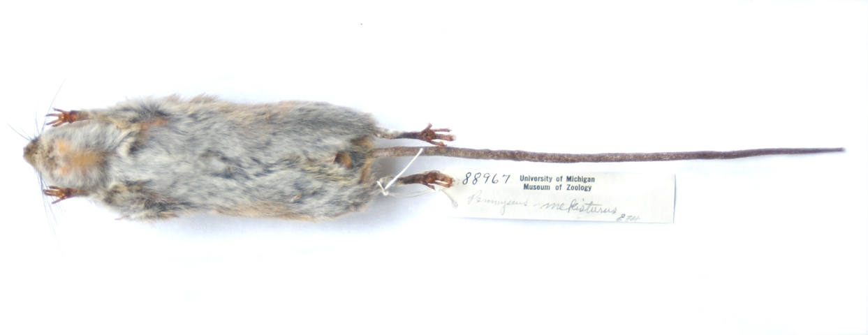 640.collections contributors phil myers adw mammals specimens rodentia cricetidae peromyscus mekisturus ventral7107