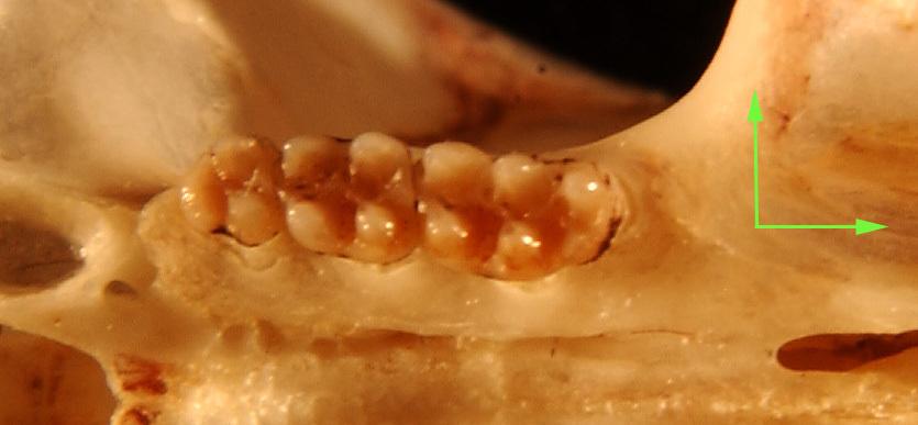 640.collections contributors phil myers adw mammals specimens rodentia cricetidae rhagomys longilingua utr6493