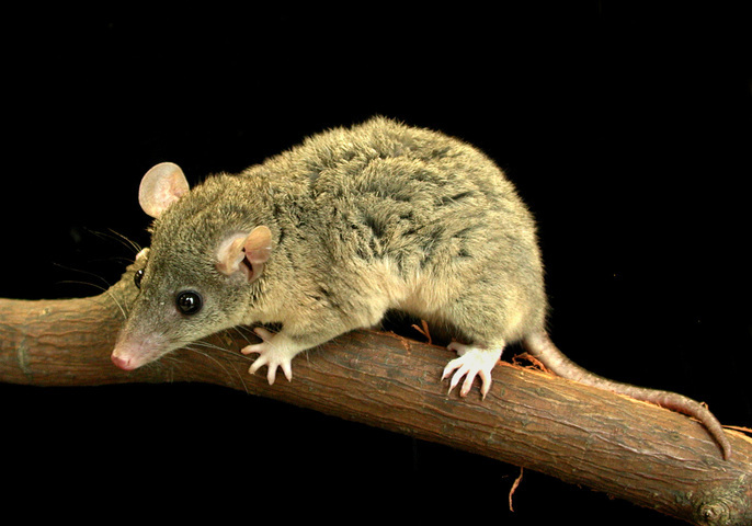 Image of short-tailed opossums