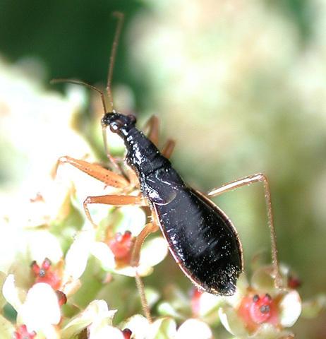 Image of Nabicula