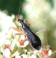 Image of <i><i>Nabicula</i></i> (Nabicula) <i>subcoleoptrata</i> Kirby 1837