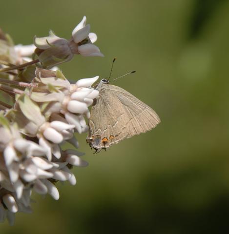 640.collections contributors phil myers lepidoptera lycaenidae fixsenia favonius0028