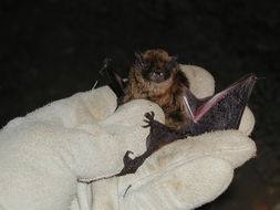 Image of Long-legged Myotis