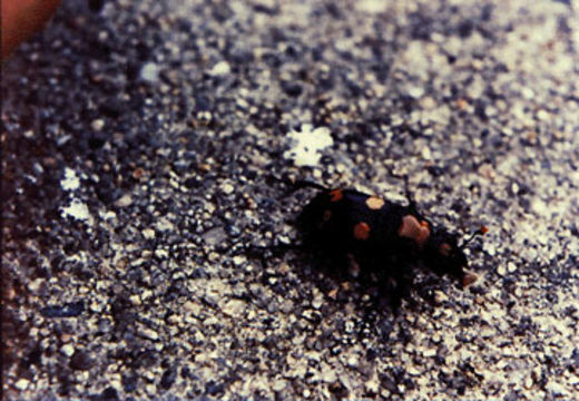 Image of American Burying Beetle