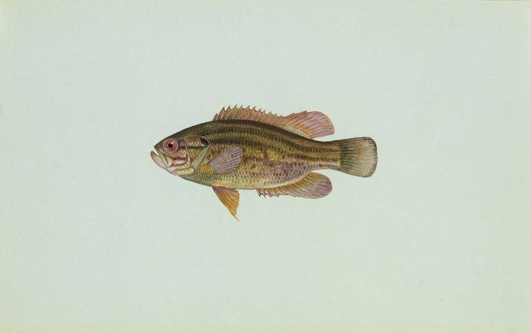 640.collections contributors usfws mudsunfish