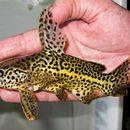 Image of Jaguar Catfish