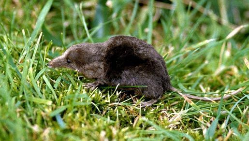 Image of water shrew