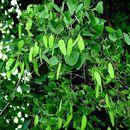 Image of <i>Hardwickia binata</i> Roxb.
