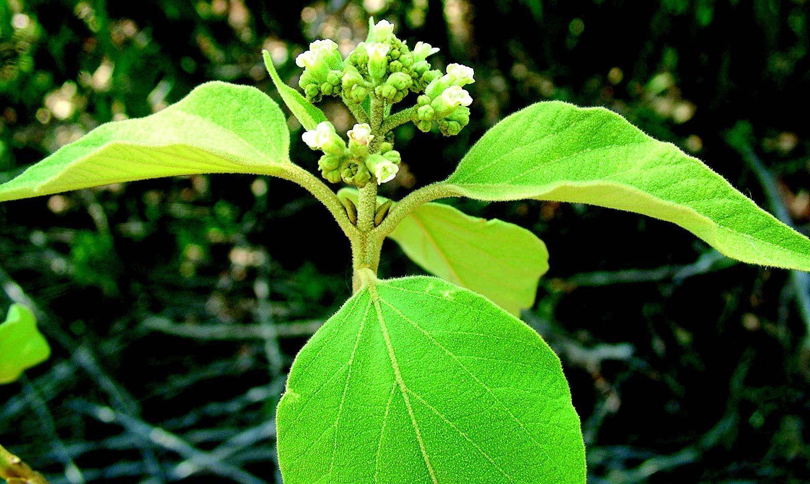 Image of <i>Premna tomentosa</i> Willd.