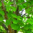 Image of <i>Deccania pubescens</i> var. <i>candolleana</i> (Wight & Arn.) Tirveng.