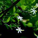 Image of <i>Jasminum trichotomum</i> B. Heyne ex Roth