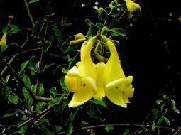 Image of Asian bushbeech