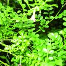 Image of <i>Jasminum bignoniaceum</i> Wall. & G. Don