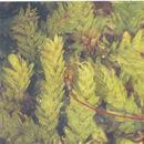 Image of <i>Callicostella papillata</i> Mitten 1859
