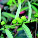 Image of <i>Phyllanthus virgatus</i> G. Forst.