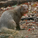 Image of Indian Gray Mongoose