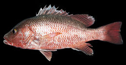 Image of Mangrove red snapper