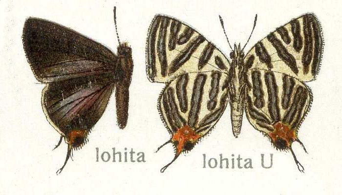 Image of <i>Spindasis lohita</i> (Horsfield 1829)