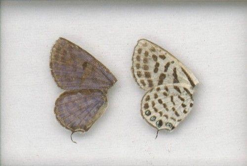Image of <i>Tarucus theophrastus</i> (Fabricius 1793)