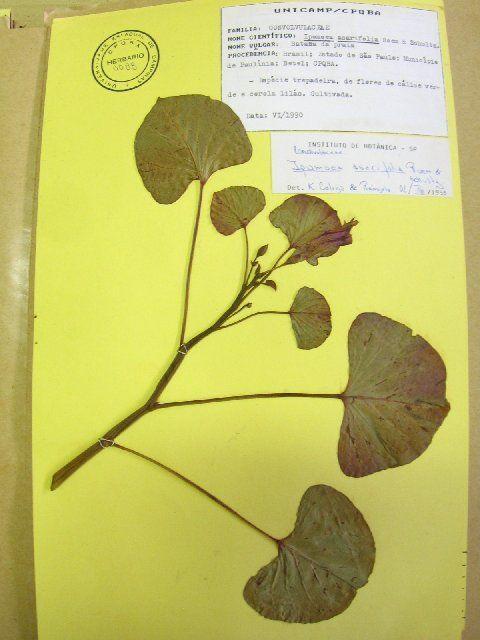 Image of <i>Scinax peixotoi</i>