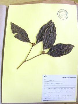 Image of <i>Psychotria hasticepala</i> Muell. Arg Muell. Arg