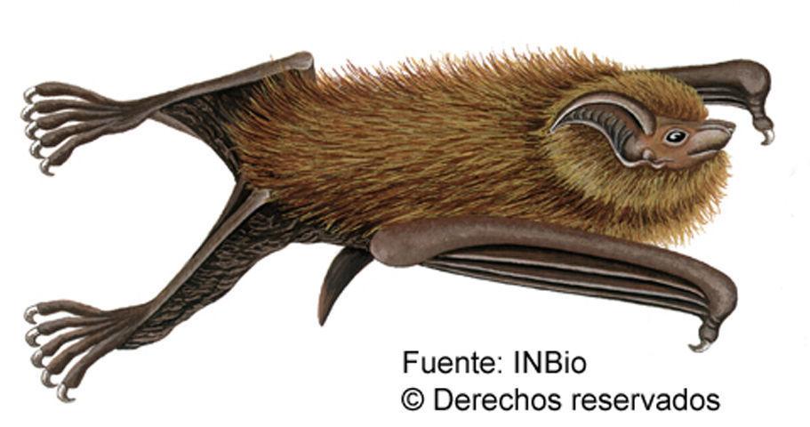 Image of Centronycteris
