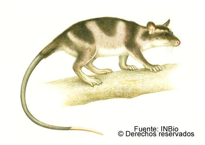 Image of Chironectes