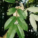 Image of <i>Lacmellea speciosa</i> R. E. Woodson
