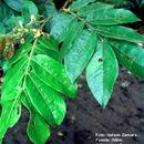Image of <i>Inga oerstediana</i> Benth.