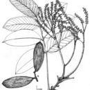 Image of <i>Sclerolobium costaricense</i> Zamora & Poveda