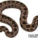 Image of Picado's pit viper