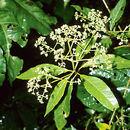Image of <i>Critonia daleoides</i> DC.