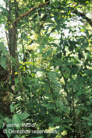 Image of <i>Mikania hookeriana</i> DC.