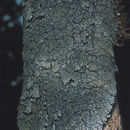 Image of lead lichen