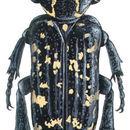 Image of <i>Genuchinus nevermanni</i> Schauer 1935