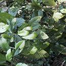 Image of <i>Meliosma allenii</i> Standley. & L. O. Williams