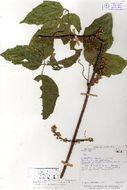 Image of <i>Paullinia turbacensis</i> Kunth