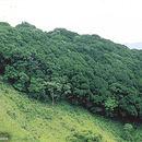 Image of <i>Quercus seemannii</i> Liebm.