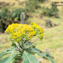 Image of <i>Jessea megaphylla</i> (Greenm.) H. Rob. & Cuatrec.