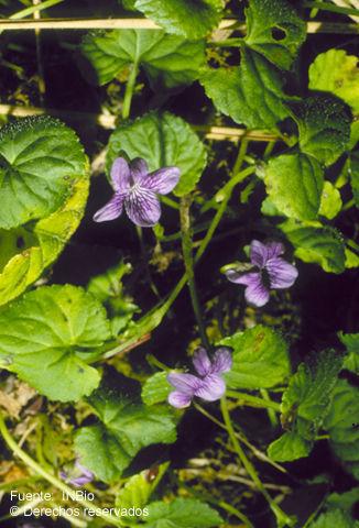 Image of <i>Viola nannei</i> Polak.
