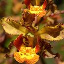 Image of <i>Cyrtopodium paniculatum</i> (Ruiz & Pav.) Garay