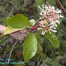 Image of <i>Ladenbergia brenesii</i> Standl.