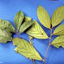 Image of <i>Ocotea mollifolia</i> Mez & Pittier ex Mez
