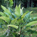 Image of <i>Philodendron davidsonii</i> Croat