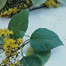 Image of <i>Sinclairia tonduzii</i> (B. L. Rob.) Rydb.