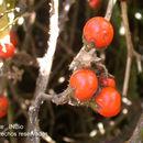 Image of <i>Solanum aturense</i> Humb. & Bonpl. ex Dun.