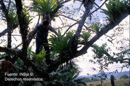 Image of Vriesea