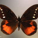 Image of <i>Drucina leonata</i> Butler 1872