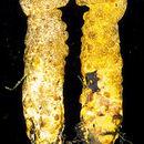 Image of <i>Hypomyces luteovirens</i> (Fr.) Tul. & C. Tul. 1860