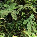 Image of <i>Pteris podophylla</i> Sw.